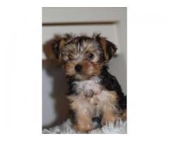 Yorkshire Terrier de vânzare