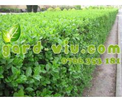Plante pentru Gard viu/verde si iarna