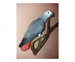De vanzare papagal JAKO