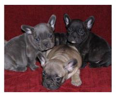 Vand Catei bulldog francez blue de 7 saptamani