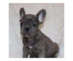 Vand femela bulldog francez blue, rasa pura
