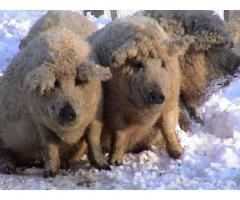 Porci mangalita bio crescuti in libertate 12 ron/kg