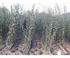 Pomi fructiferi-direct de la producator