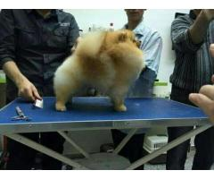 Pomeranian orange toy