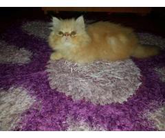 Puiut pisică persană linie deosebita